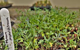 ICBA grows halophytic vegetables in the UAE conditions for the first time