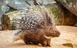 Discovery of new porcupine species in the UAE sparks interest among scientists