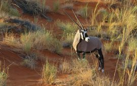 Once considered extinct, population of scimitar-horned Oryx revives due to Abu Dhabi's initiatives