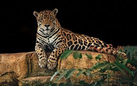 These men escape death by a whisker in Jaguar attack